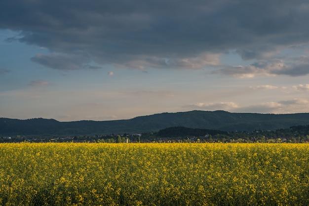 시골에서 흐린 저녁 하늘 아래 노란색 꽃과 아름다운 필드