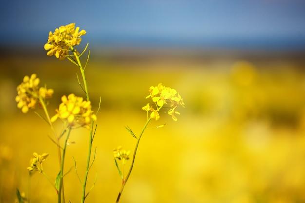 明るい黄色の野生の花の美しいフィールド