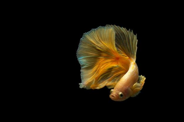 黒の背景の美しい戦いの魚