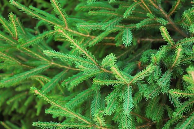 美しいモミの木の枝、クローズアップ。クリスマスのコンセプト