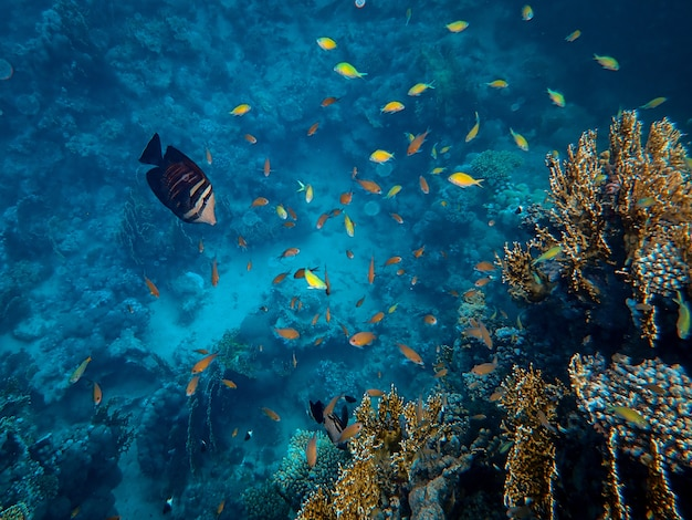 Beautiful fish swimming around corals under the sea