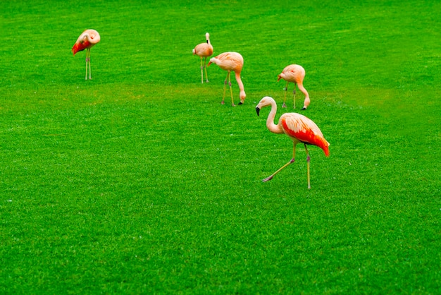 Beautiful flamingo group walking on the grass in the park