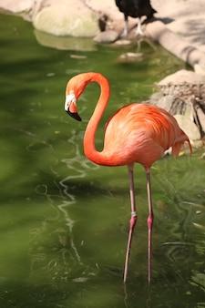 연못에 아름다운 플라밍고