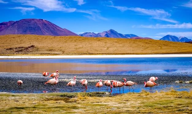 산악 볼리비아의 선샤인 석호에서 아름다운 플라밍고