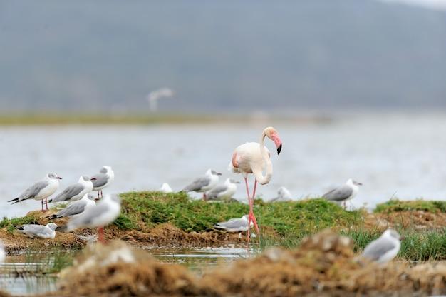 Красивые фламинго на озере. кения, африка