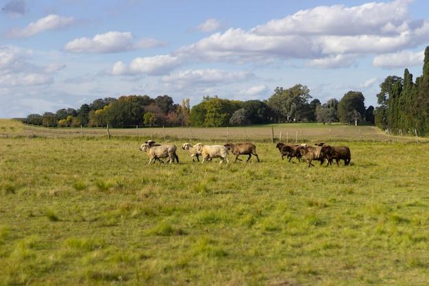屋外の美しい羊の群れ