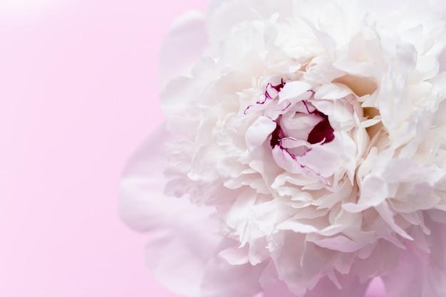 흰 모란에서 아름 다운 꽃 배경