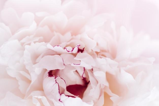 Красивый цветочный фон природы из белых розовых пионов