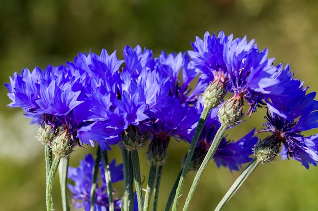 Beautiful flower, cornflower blue color closeup, the real features of nature in the spring time of the year