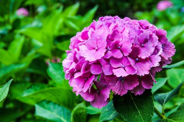 Beautiful flower, hydrangea flowers, hydrangea macrophylla blooming in the garden japan.