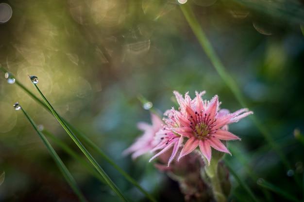 Красивый цветок очитка с размытой поверхностью