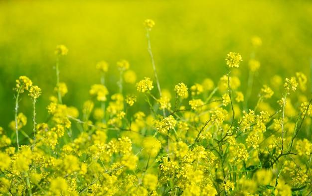 ぼかしの菜種のクローズアップの美しい花。