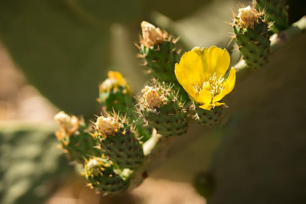 Beautiful flower of opuntia ficus-indica or cactus pear are widely spread along sicily and puglia