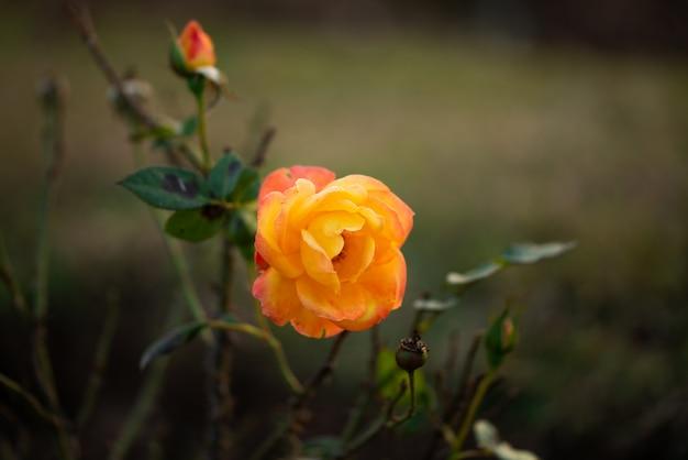 枝と緑の葉のある自然庭園の美しい花オレンジ色のバラの花