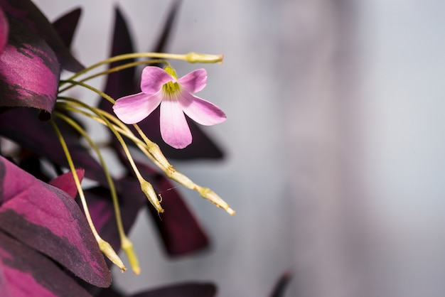 Beautiful flower of oxalis on background of purple triangular leaves with copy space