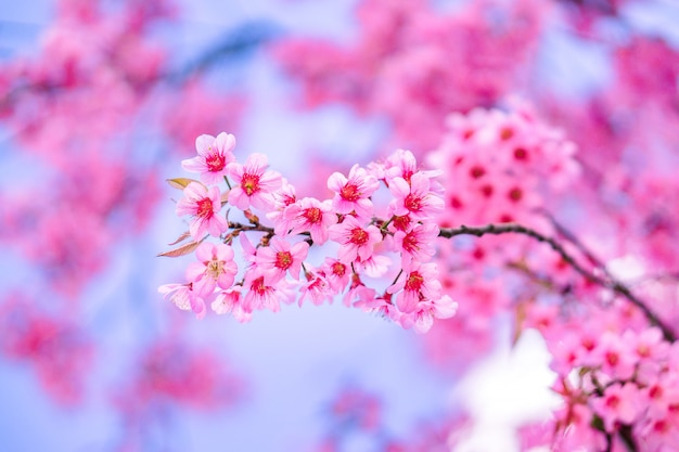 Beautiful flower pink wild himalayan cherry blossom or sakura
