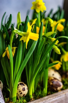 Beautiful flower pot with yellow daffodils with quail eggs as a spring interior composition