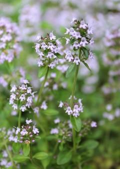 아름다운 꽃 백리향 정원