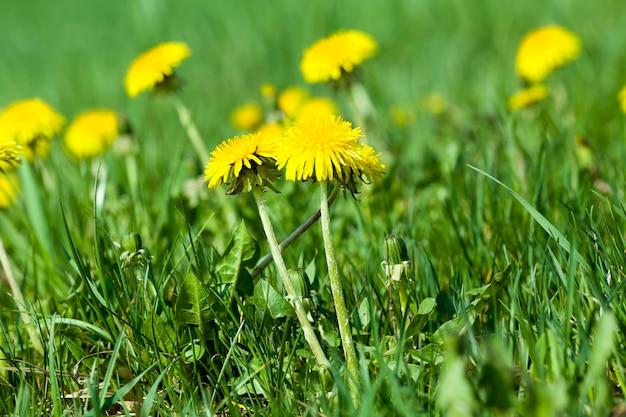 美しい花の黄色のタンポポの色のクローズアップ、今年の春の自然の本当の特徴