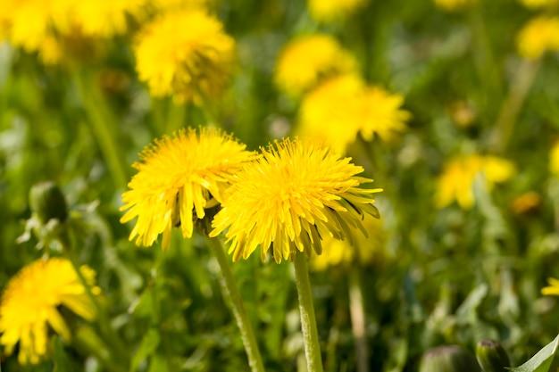 아름 다운 꽃 노란 민들레 색상 근접 촬영