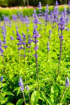 Beautiful flowerbed  salvia nemarosa