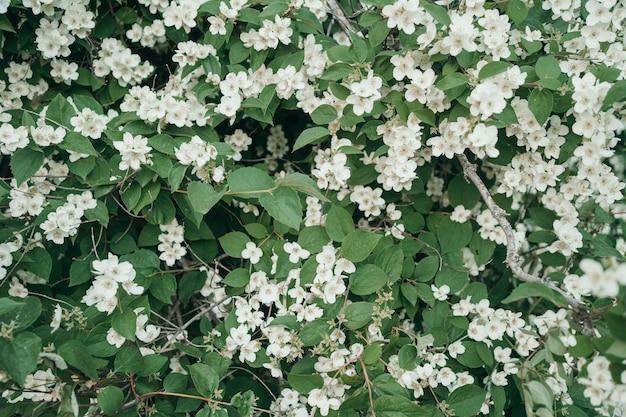 꽃과 녹색 잎의 아름다운 꽃 사과 나무 배경 꽃의 자연 배경