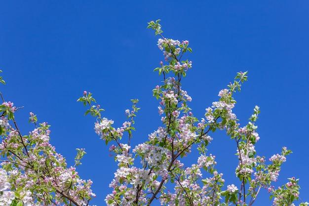 아름 다운 꽃 사과 나무