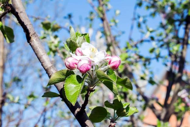 美しい開花リンゴの木。春の日に咲く花の背景。