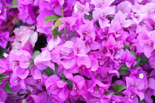 美しい開花ブーゲンビリアの花の自然
