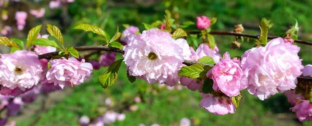 中国の梅のクローズアップの美しい開花枝。さくら。春の庭園。バナー。