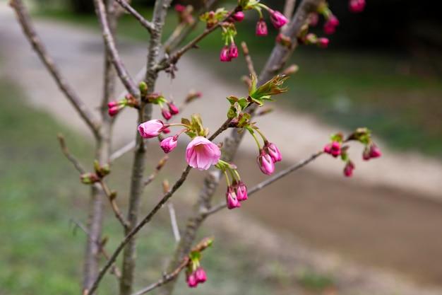 아름다운 꽃이 만발한 일본 체리 - 사쿠라. 봄 날에 꽃과 배경입니다.