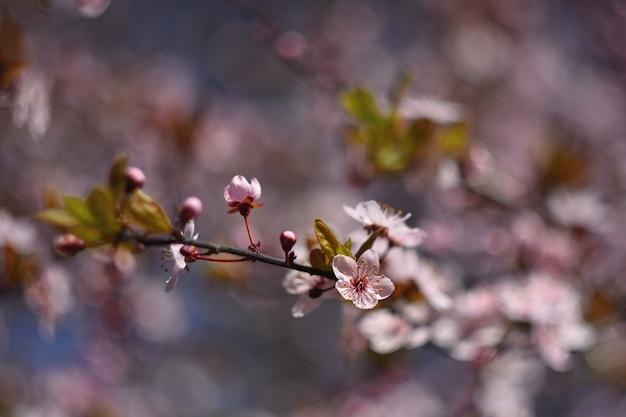美しい花開く日本のチェリーさくら。シーズンの背景。アウトドア自然の背景をぼかした