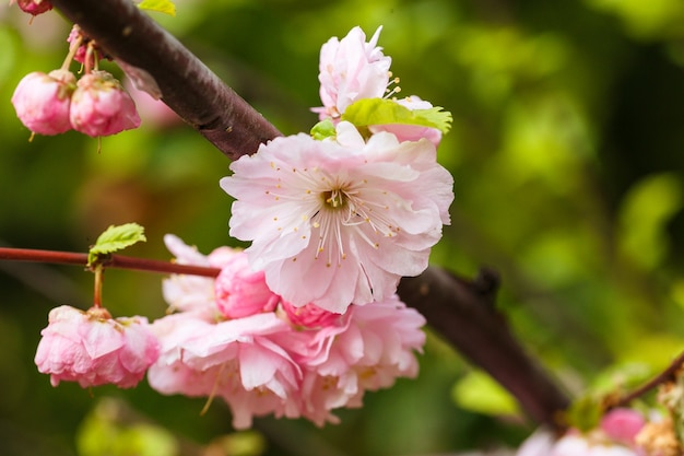 Beautiful flowering japanese cherry