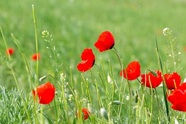 석양의 광선에 양귀비의 아름다운 꽃 초원