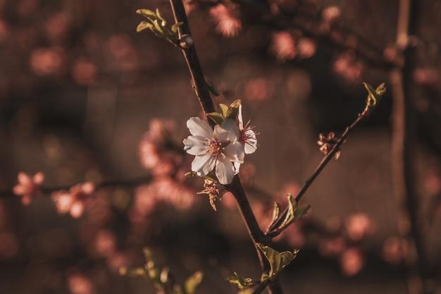아름다운 꽃 복숭아. 봄 날, 일몰에 꽃 배경