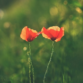 Beautiful flowering poppy in green grass in field. (papaveraceae)