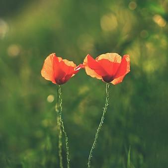 필드에서 푸른 잔디에서 아름 다운 꽃 양 귀 비입니다. (양귀비과)
