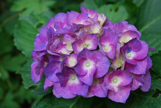 咲く美しい花の咲く紫色のアジサイの茂み