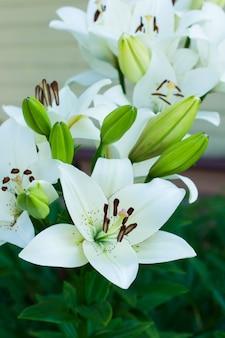 Beautiful flowering white lily in the garden. ornamental gardening.