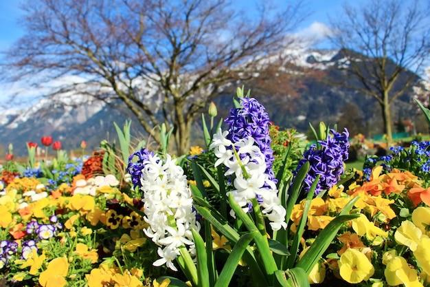 スイスのインターラーケンにあるスイスアルプスの前で美しい花や造園。