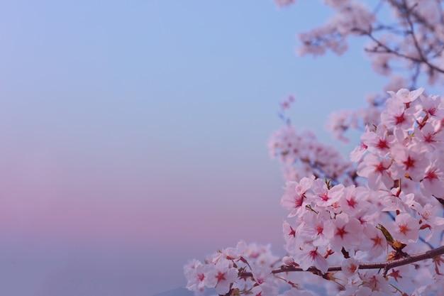 Красивые цветы сакуры весной мягко размытый фон
