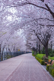 Beautiful flowers cherry blossom in park