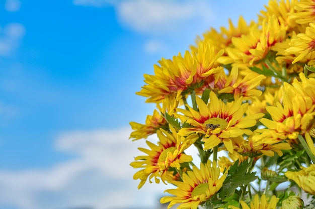Beautiful flowers of chrysanthemums over blue sky