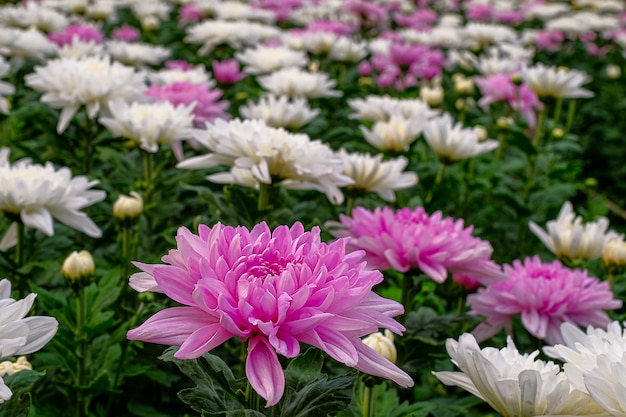 Beautiful flowers of chrysanthemums in the garden