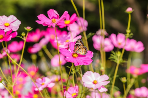 Beautiful flowers cosmos and common tiger butterfly (danaus genutia)