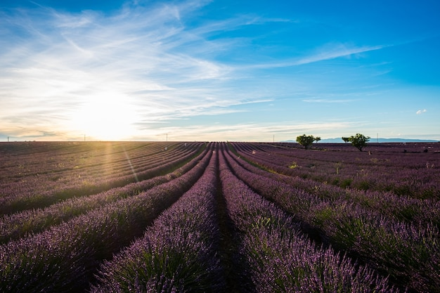 Beautiful flowers lines of lavender purple field with sun in background  travel amazing places fran