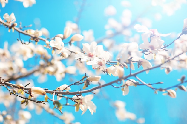 Beautiful flowers of a magnoliin background of the blue sky. spring background. selective focus.