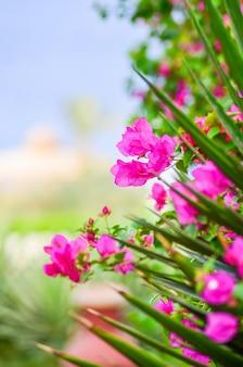 Красивые цветы бугенвиллеи в отеле на побережье египта