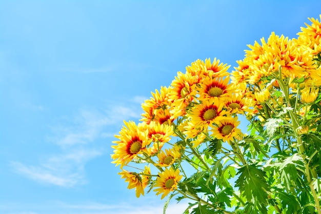 菊の美しい花