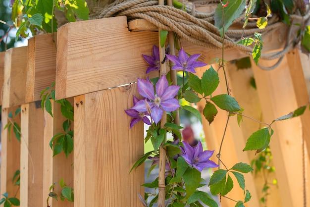 クレマチスと木製の背景に紫色の花の美しい花